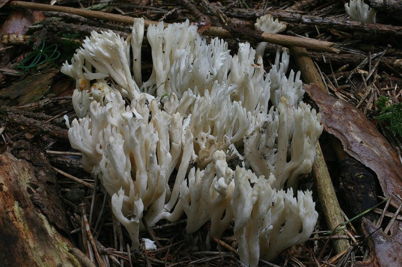 Clavulina coralloides 1.JPG